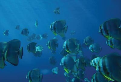 Temperamen Longfin Batfish