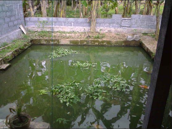 Obat Luka untuk Ikan Gurame