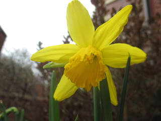 Daffodil Close Up Narcissus
