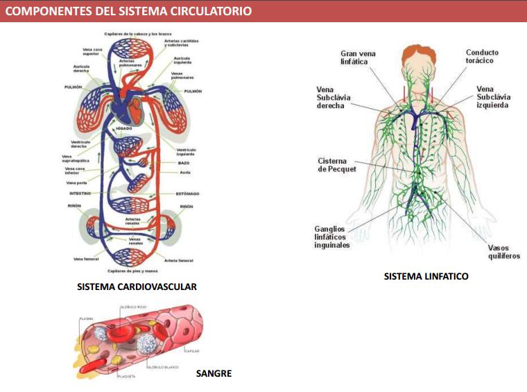 Thug Med Life: Semana 01: Macroestructura del Sistema Circulatorio