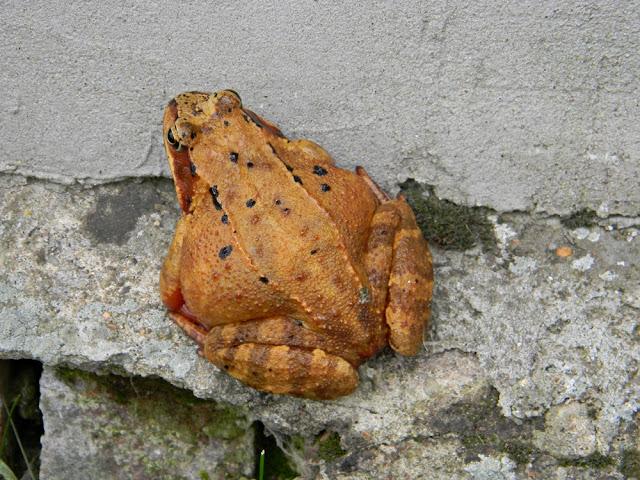 zdjęcie żaby trawnej