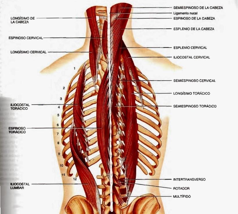 Músculos del dorso y de la nuca y sus movimientos
