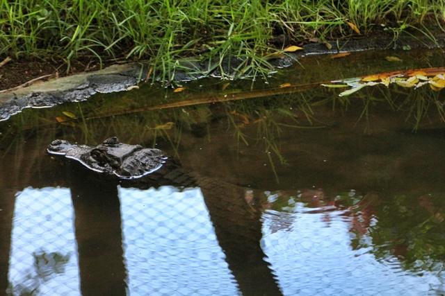 Cocodrilo en La Vanille Nature Park