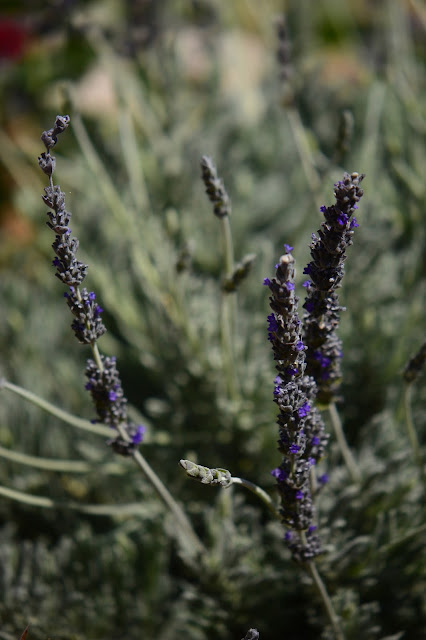 small sunny garden, amy myers, desert garden, garden bloggers bloom day, lavender goodwins creek gray