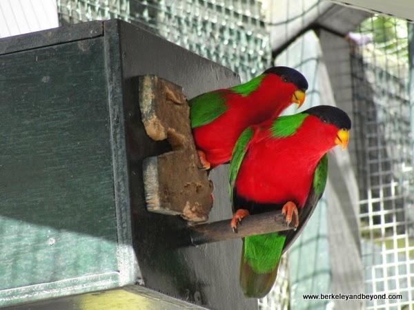 Fiji national bird-collared lory or kula birds-in nesting box at Kula Eco Park in Fiji