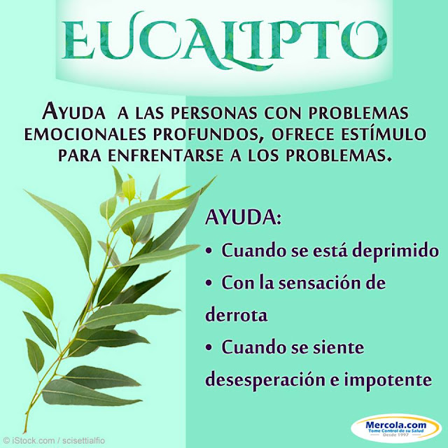 EUCALIPTO - BENEFICIOS