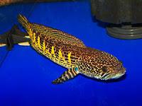 Jenis Ikan Gabus Gambar Ikan 30 Jenis Ikan Gabus Air Tawar Alam Ikan