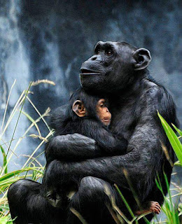 Foto chimpance con su hijo