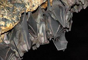 Será Q.Roo sede de curso internacional sobre murciélagos neotropicales