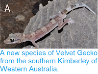 http://sciencythoughts.blogspot.co.uk/2014/11/a-new-species-of-velvet-gecko-from.html