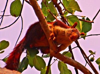 India Giant Squirrel