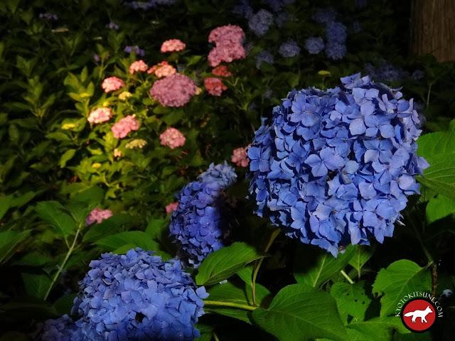 Hortensia bleue temple Mimurotoji de Uji à Kyoto la nuit