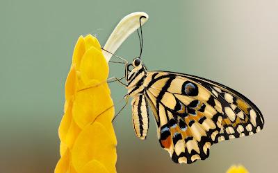 yellow butterfly widescreen hd wallpaper