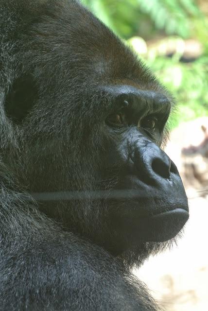 loro parque gorilla