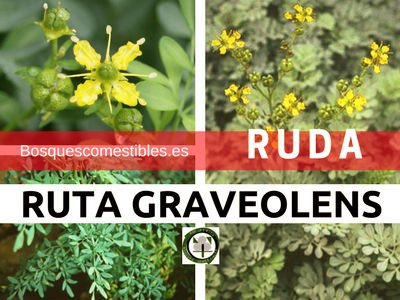 La Ruda, Ruta graveolens,es un arbusto perenne de 50 a 60 cm de altura