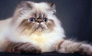 Gambar Kucing Persia Lucu 10007