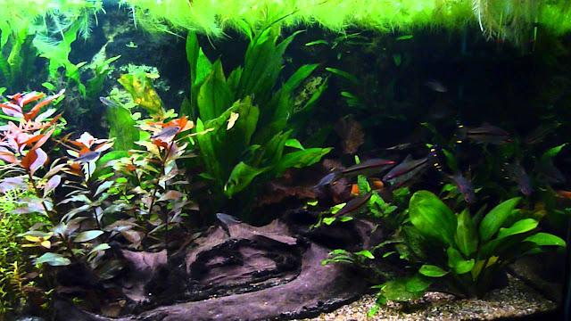 Puntius Denison di aquascape