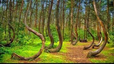 غابة الاشجار الملتوية في بولندا