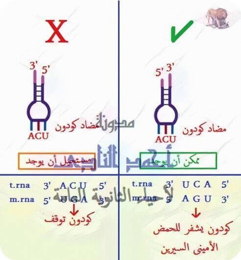 تخليق البروتين – أحياء الثالث الثانوى - الكودون - مضاد الكودون