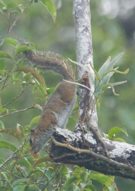 Low's Squirrel (Sundasciurus lowi)