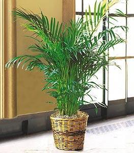Areca Palm Pokok Ini Bukan Hanya Menapis Xylene Toluene Di Dalam Udara Tetapi Juga Menukar Lebih Banyak Co2 Carbon Dioxide Ke O2 Oxygen Sepanjang