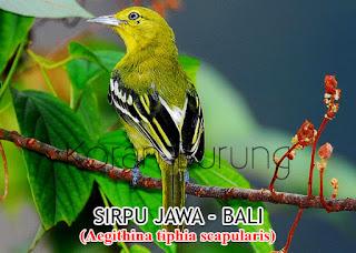 Di kalangan penghobi burung kicau burung ini Mengenal Jenis Burung Sirpu / Sirtu Si Hijau Nan Merdu