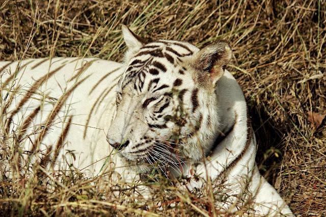 Rewa white tiger safari Madhya Pradesh