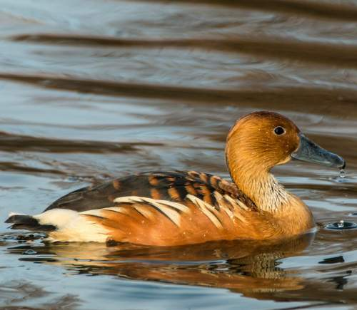 Fulvous whistling duck - Dendrocygna bicolor