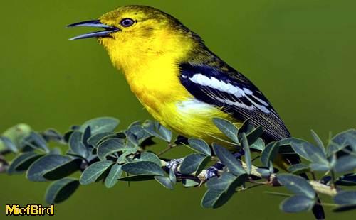 Kicau Burung Mania Cara Jitu Merawat Burung Cipoh Agar Semakin Gacor