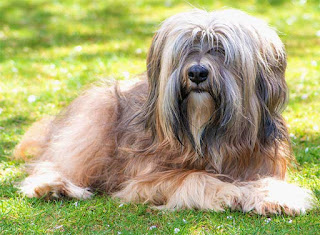 Everything about your Tibetan Terrier