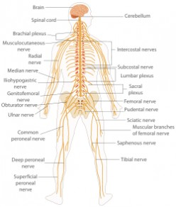 What are the systems of the human body 11 human body systems and the brain and spinal cord constitute the central nervous system cns the brain is the largest and the most complex part of the nervous system ccuart Gallery