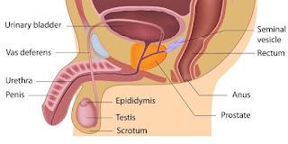 kanker prostat, pengertian prostat, gambar prostat, gambar kanker prostat