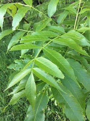Blätter der Fraxinus excelsior Gemeine Esche