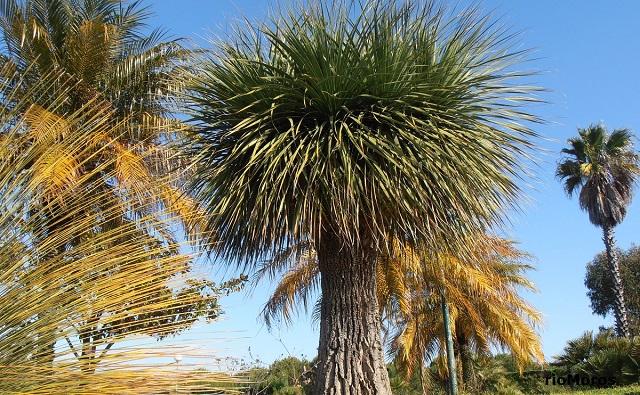 DASILIRION de hojas grandes: Nolina longifolia