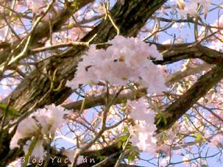 Arbol Maculis Flores maya