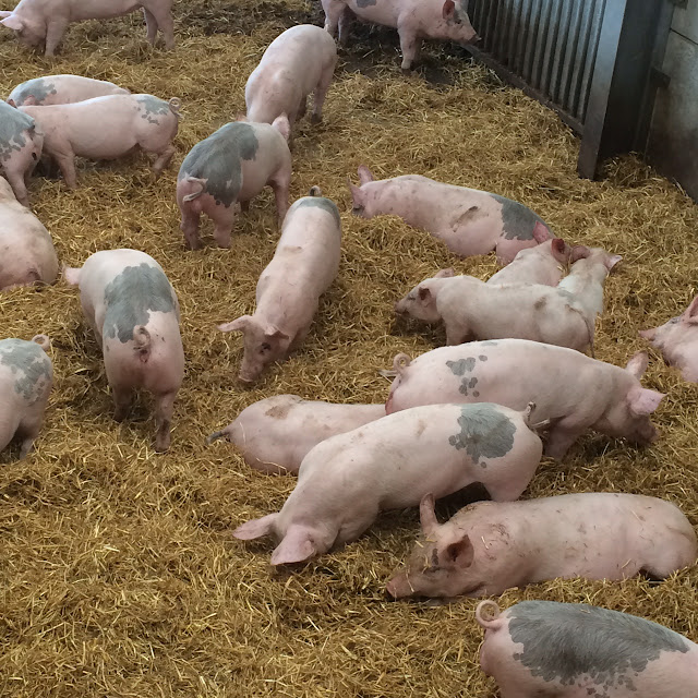Piglets at Cannon hall farm