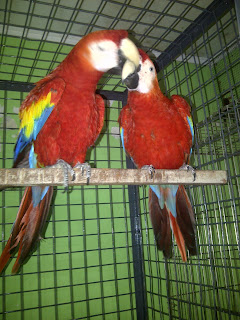 Sepasang Scarlet Macaw