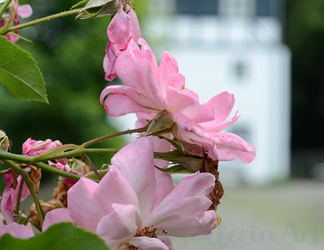 Rosen alte Dombach nach ©muellerinart