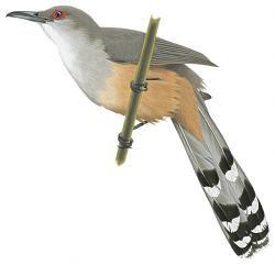 Coccyzus bahamensis