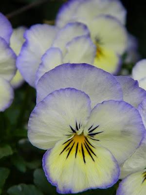 kompozycje kwiatowe, bratki