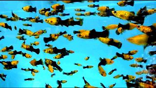 Jenis Ikan Molly Golden Black termahal