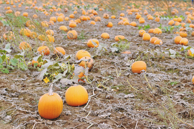 Pumpkin field Pickwell Farm