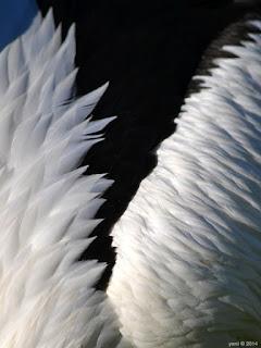 pelican monochrome