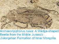 https://sciencythoughts.blogspot.com/2017/03/archaeoripiphorus-nuwa-wedge-shaped.html