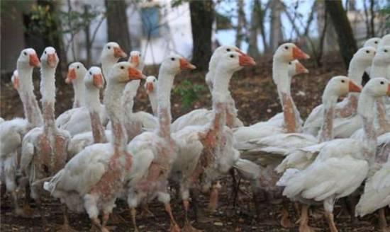 皮草——活剝動物生命的真相