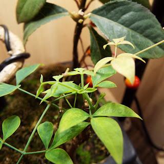 黒松の鉢で寄せ植えにしている南天の新芽