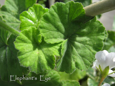 Broad leaves of white pelargonium