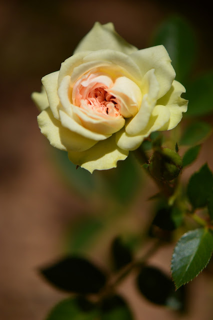 miniature rose, garden bloggers bloom day, small sunny garden, amy myers, photography, desert garden