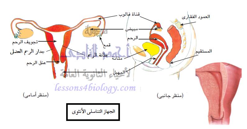 تركيب الجهاز التناسلى الأنثوى