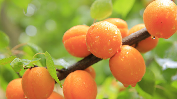 Wallpaper: Apricots